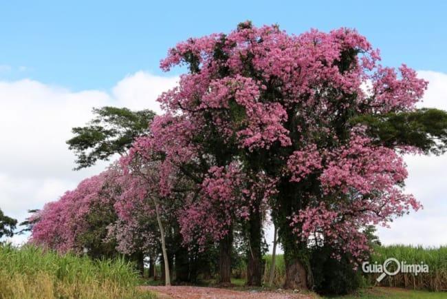 paineira com flores em cor de rosa