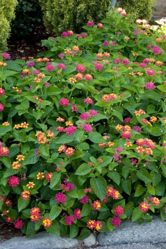flores coloridas que gostam de sol para jardim
