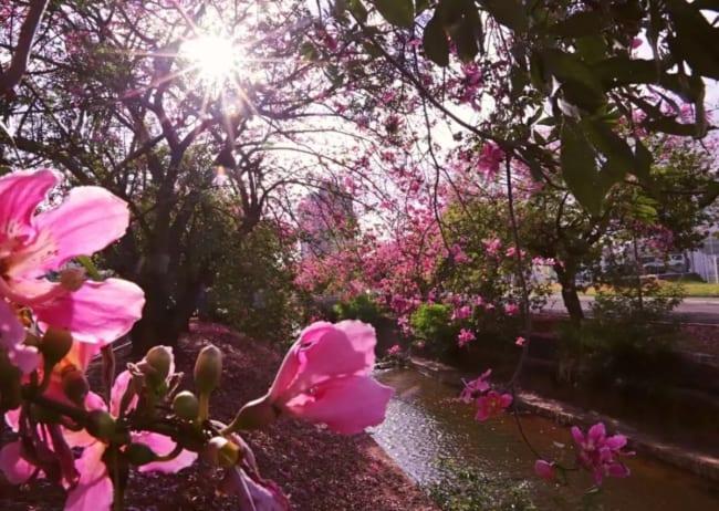flores de paineira