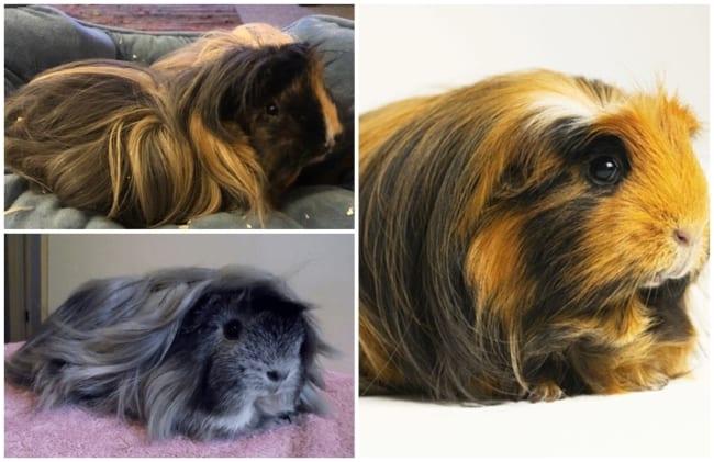 fotos de porquinho da india peruano