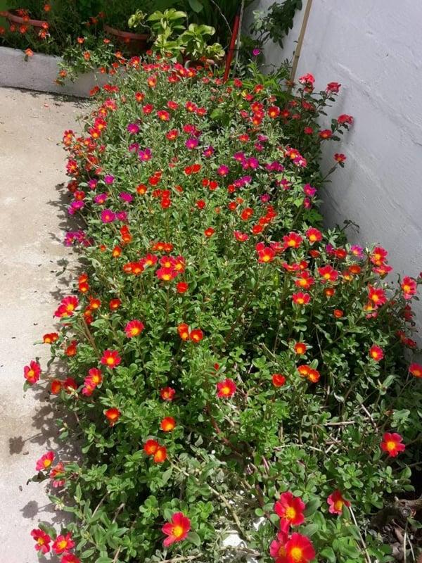 flor de sol para jardim