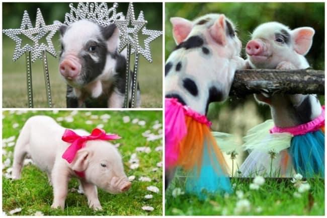 nomes para porcos femeas