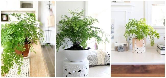 planta avenca em vaso
