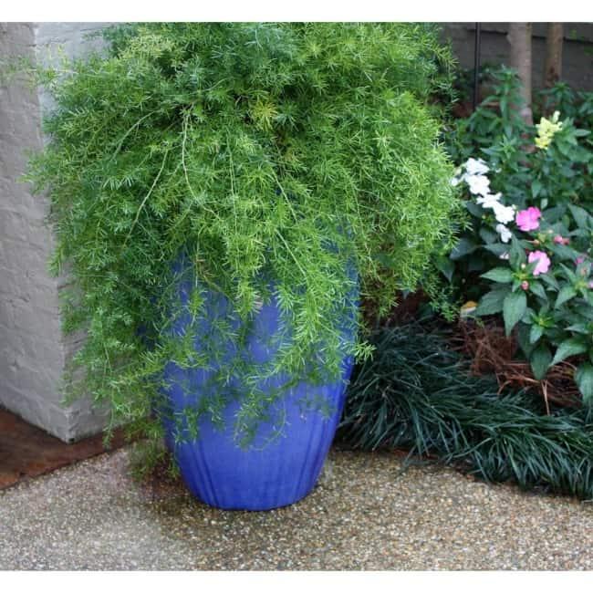 vaso com planta aspargo alfinete