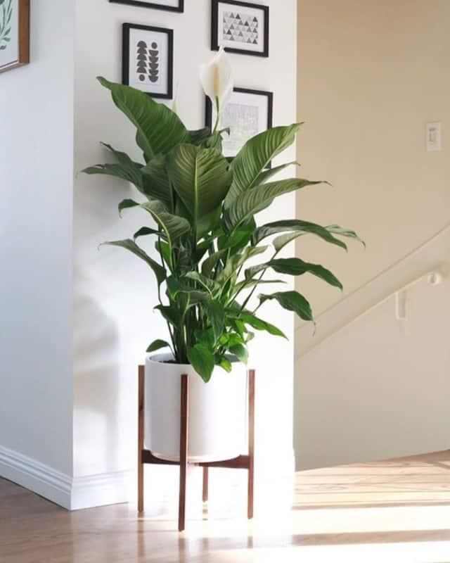 lirio da paz em vaso decorando a casa