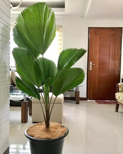 decoracao interna com Palmeira Leque