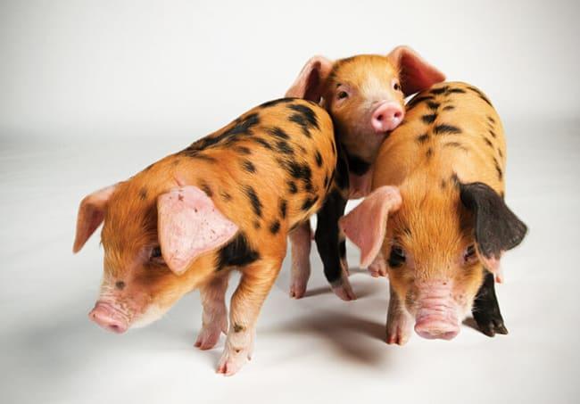nomes para porcos machos