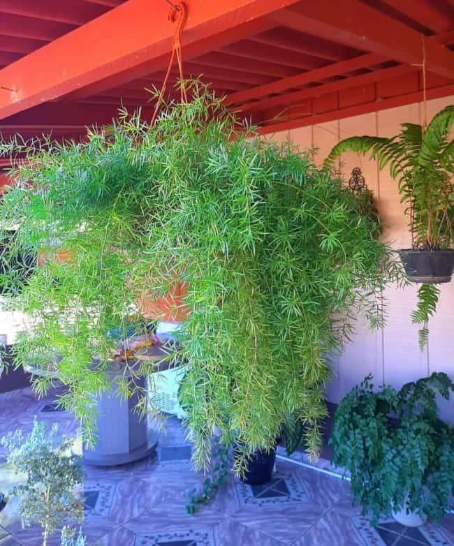 planta pendente que gosta de sol