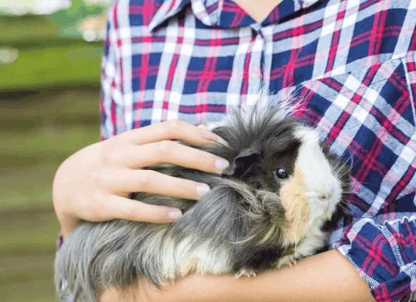 temperamento de porquinho da india peruano