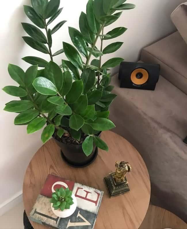 planta para decorar dentro de casa
