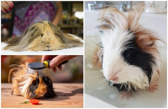 cuidados de higiene com porquinho da india peruano