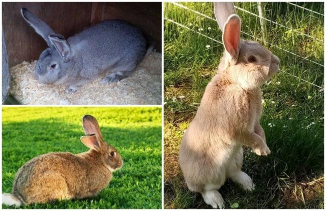 raca de coelho Giant Rabbit