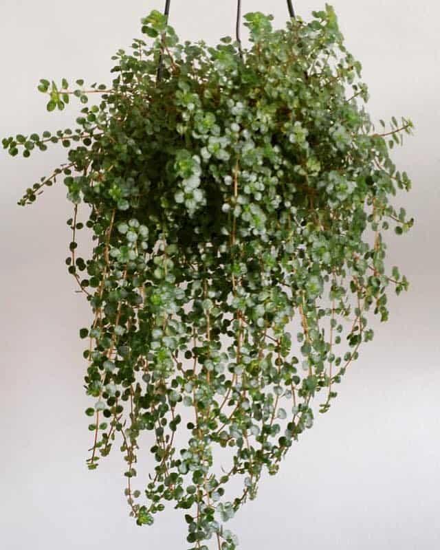 tipo de planta suspensa para sol