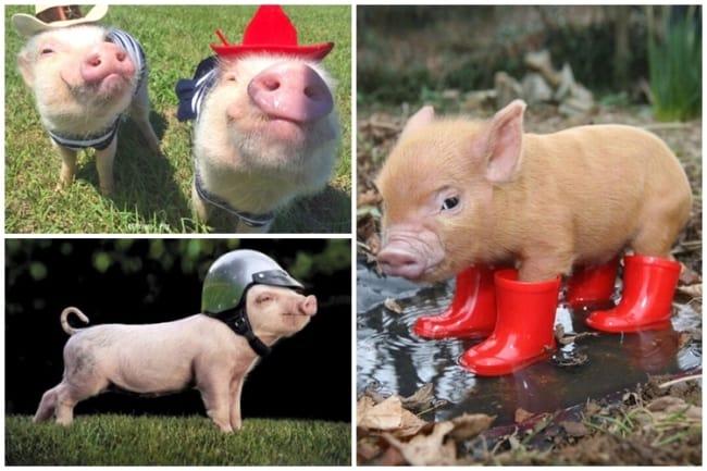 lista de nomes diferentes para porcos