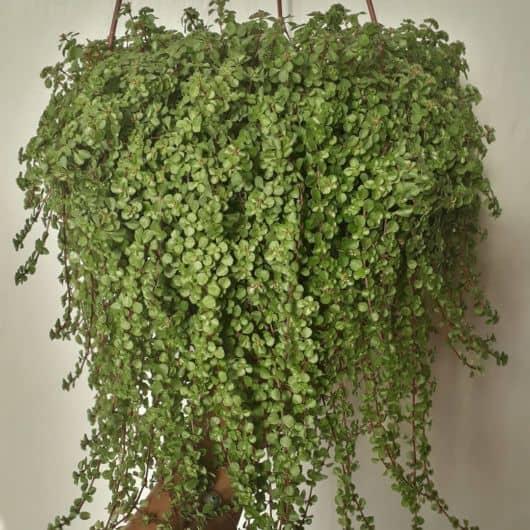 planta para vaso suspenso