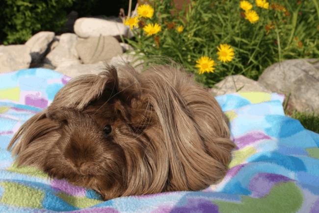 porquinho da india peruano de pelo marrom