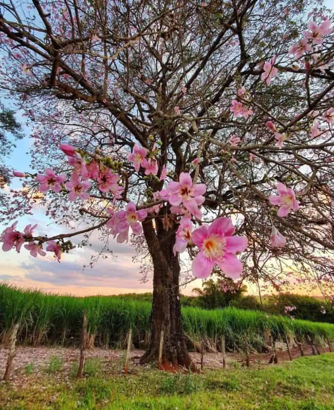 arvore de paineira com flores cor de rosa