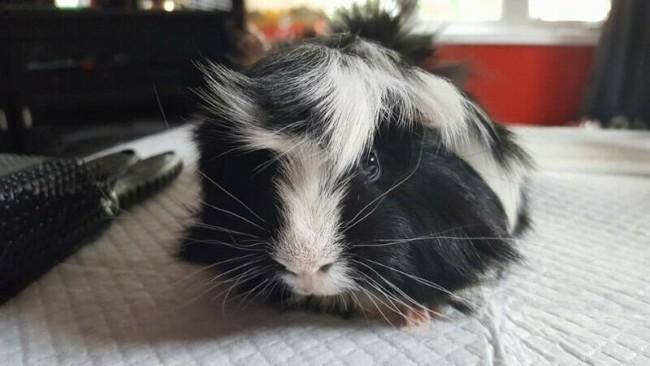 raca de porquinho da india de pelo branco e preto