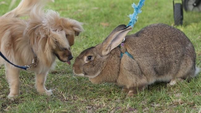 temperamento do coelho gigante