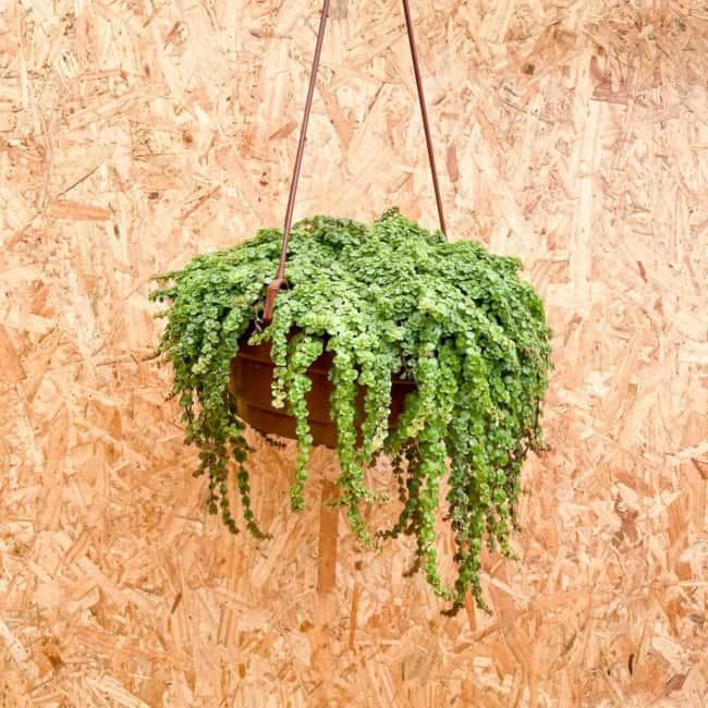 vaso suspenso com planta pendente de sol