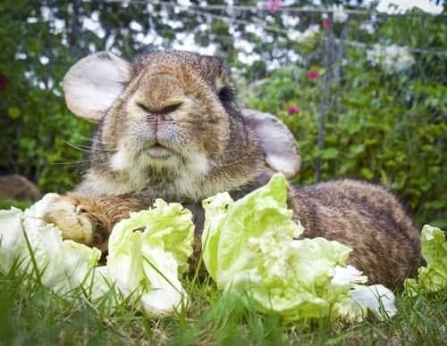 cuidados com coelho gigante