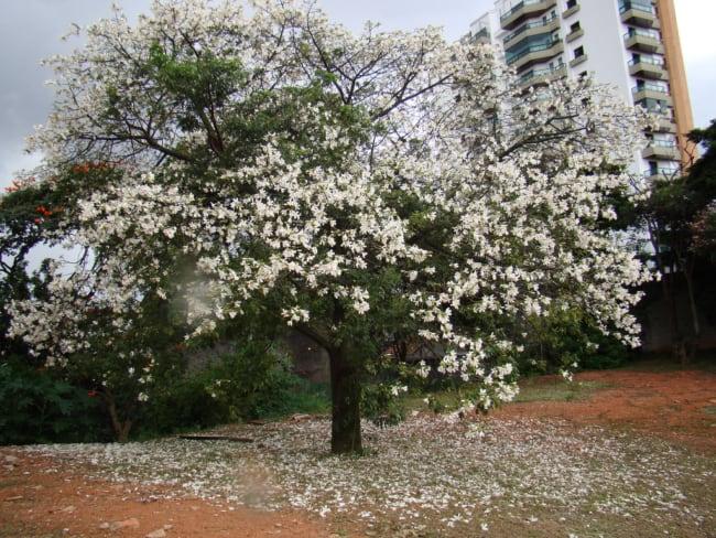 paineira com flores brancas