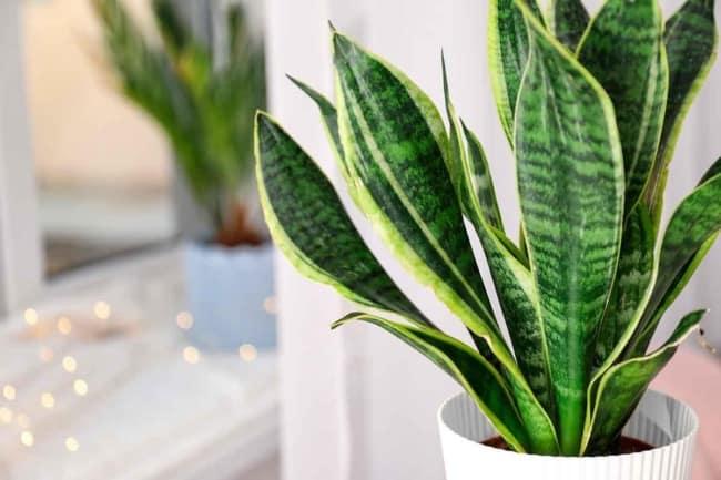 planta facil de cuidar e com significado