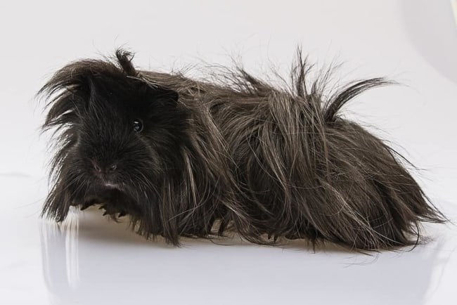 porquinho de india peruano de pelo preto